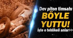 Timsah Yutan Dev Piton Yılanı Korku Saçıyor