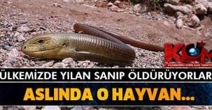 Ülkemizde yılan sanıp öldürüyorlar! Ama aslında o hayvan...