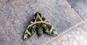 Muğla Bodrum'da nadir rastlanan mekik kelebeği görüldü