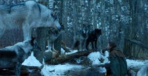 Game of Thrones'tan Sonra Terkedilen Kurt Sayıları Arttı!