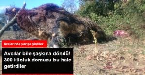 Bilecik'te 300 Kilo Ağırlığında Domuzu Vuran Avcılar Şaşkına Döndü