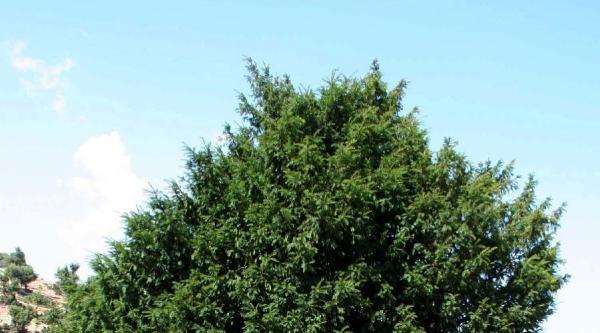 1200 Yıllık Porsuk 'anıt Ağaç' Olarak Tescillenecek