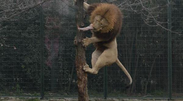 15'Inci Yaşini Kutlayan Bursa Hayvanat Bahçesi'nde Aslanin Beslenme Saati