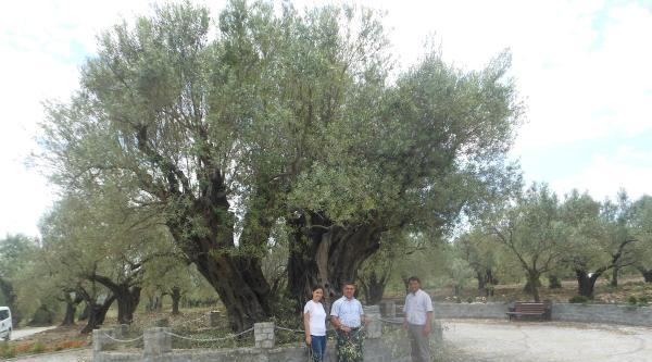 1650 Yaşındaki Zeytin Ağacı Bakıma Alındı