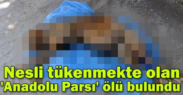 Nesli tükenmekte olan 'Anadolu Parsı' ölü bulundu