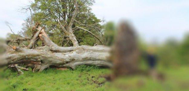 Yüzyıllık ağacın kökünden bakın ne çıktı!