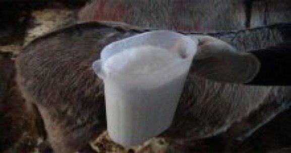 Dikkat! Çiftliğinde eşeklerin sütünü sağıp satıyor