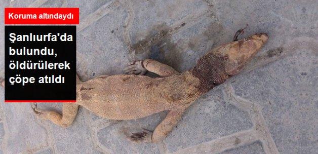 Şanlıurfa'da Nesli Tükenen Çöl Varanı Öldürüldü