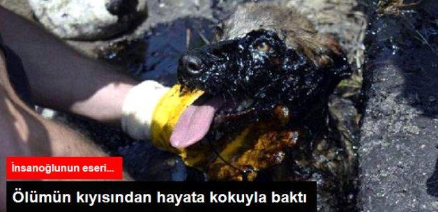 Zifte Batan Köpeği İtfaiye Kurtardı