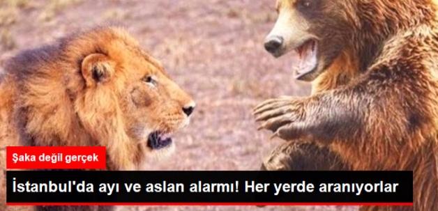 İstanbul'da Aslan ve Ayı alarmı! Her Yerde Aranıyorlar