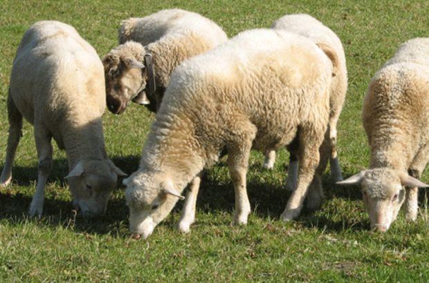Bingöl'de çobanları darp edip hayvanlarını çaldılar