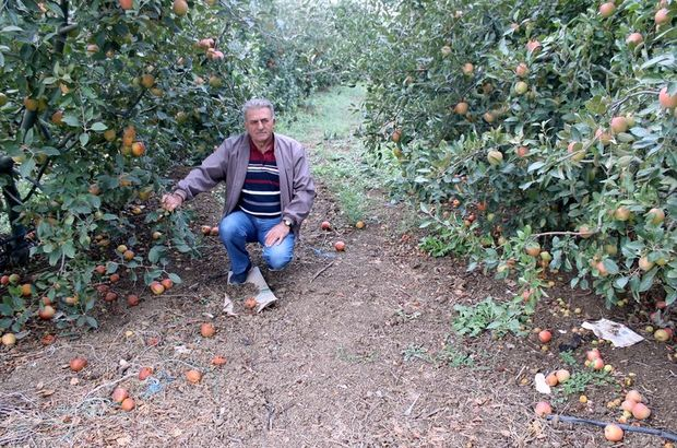 Bursa elmalar para etmeyince ağaçları odun olacak