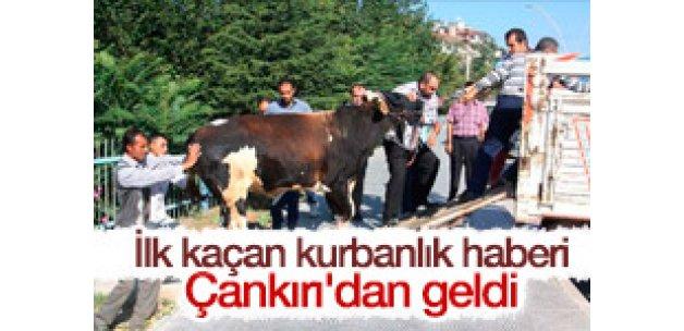 Çankırı'da kaçan kurbanlık 3 saat sonra yakalandı