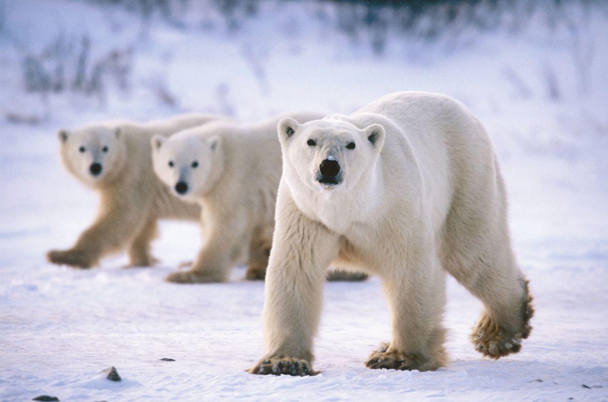 Kutup ayılarının esir aldığı bilim insanlarına yardım ulaştırıldı