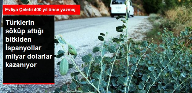 Türklerin Söküp Attığı Kapari Bitkisinden İspanyollar 20 Milyar Dolar Kazanıyor