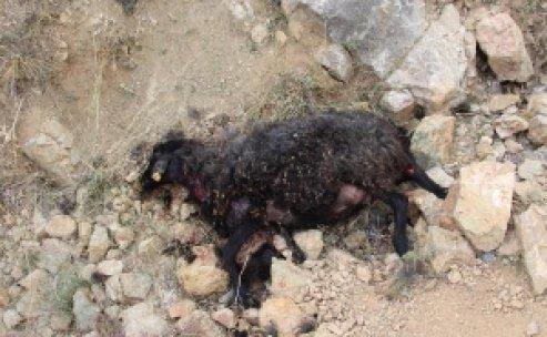 Erzurum'da aç sokak köpekleri 7 koyun yedi