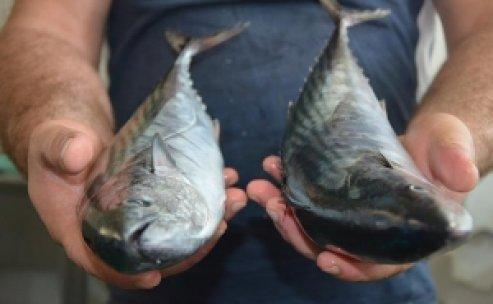 Vatandaşlar balıkları tuzlamaya başladı