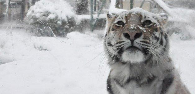 Sibirya kaplanlarının kar keyfi
