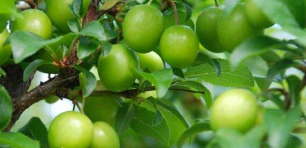 Yerli erik manav ve pazarlarda kilosu 300 TL'den satılıyor
