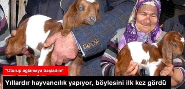 Antalya'da İkiz Oğlaklardan Biri 3 Bacaklı Doğdu