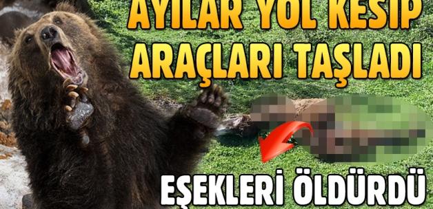 Kastamonu'da ayılar araç taşladı, eşek öldürdü!