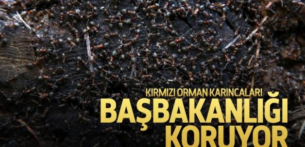 Kırmızı orman karıncaları, Başbakanlık'ta nöbette