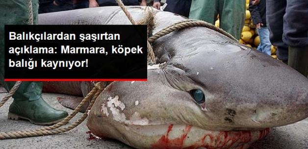 Balıkçılardan Sevindiren Açıklama: Marmara Denizi Köpek Balığı Kaynıyor