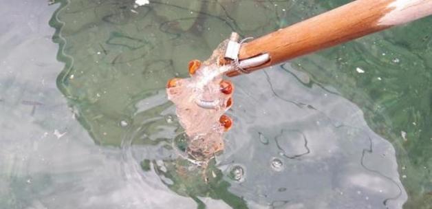Datça'da şaşırtan şeffaf deniz canlısı