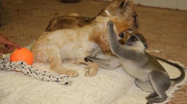 2 Köpek Bir Yavru Aslan Ve Bir Maymunun Dostluğu Şaşirtiyor