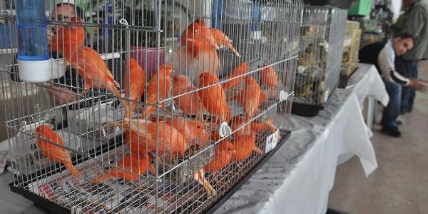 3 Bin Kuş, Yariştirilmak Üzere Bursa'ya Getirildi