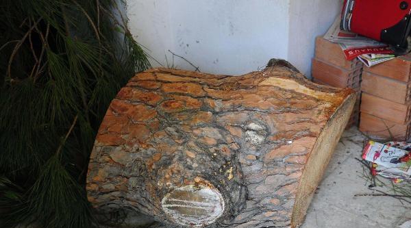 60 Yıllık Çam Ağaçlarını Kestiler