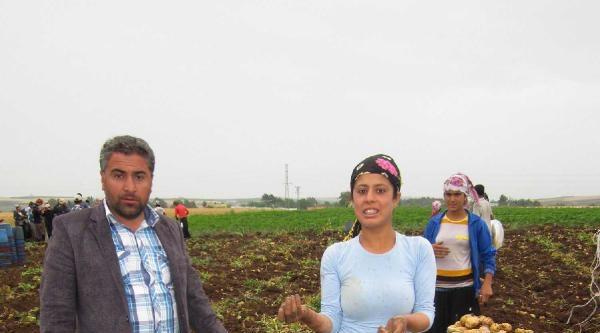 Adana'da Patates Üretimi Yüz Güldürdü