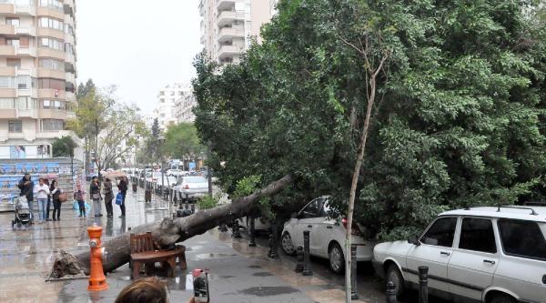 Adana'da Yola Devrilen Ağaç İlgi Odağı Oldu