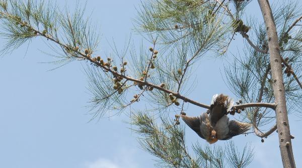 Ağaçta Asılı Kalan Kumruyu İtfaiye Kurtardı