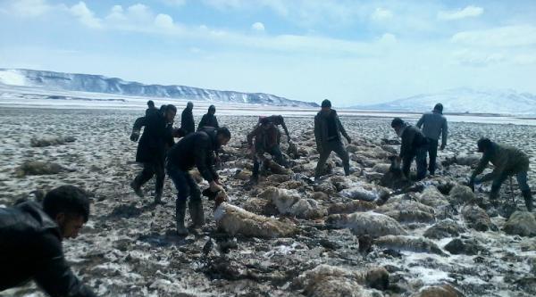 Ağrı Dağı'nda Tipide Koyunlar Telef Oldu
