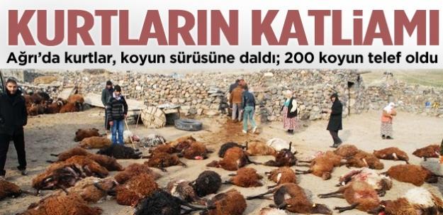 Ağrı'da kurtlar, 200 koyunu telef etti