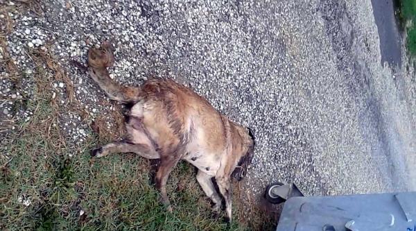 Akyazı'da Sokak Köpeklerini Barınağa Götüreceğiz Diye Zehirlediler İddiasi