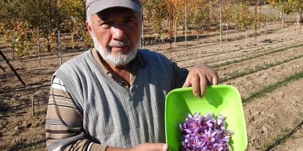 'altin Bitki' Safran Hasadi Başladi