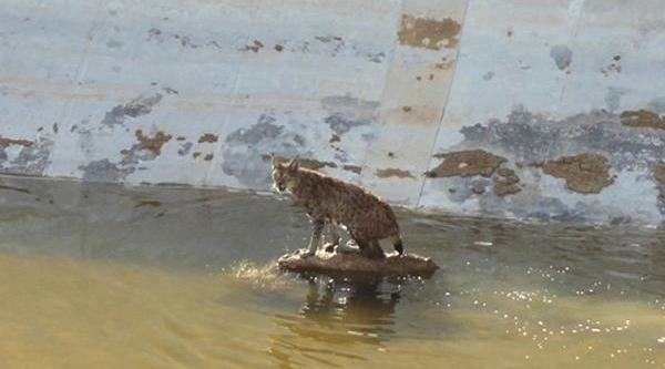 Anadolu Vaşaği, Düştüğü Havuzdan Kurtarildi