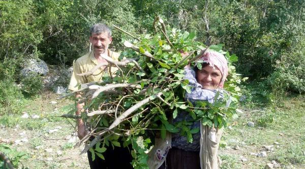 Andırın'da Defne Yaprağı Geçim Kaynağı Oldu