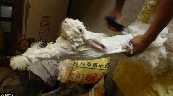 Angora Kazaği Yünü Için Tavşanlari Yoluyorlar