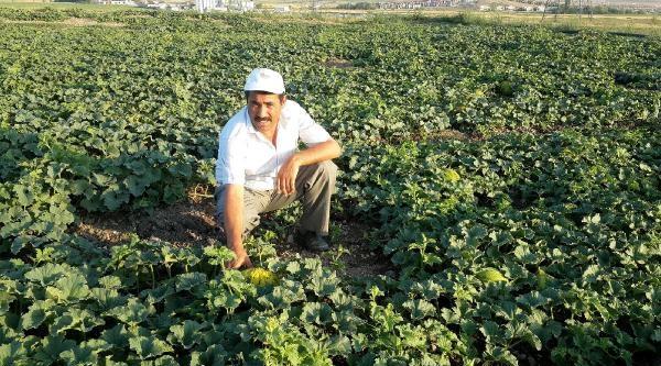 Ankara'lı Üretici, Kabak Aşılı Ürünlerden Şikayetçi