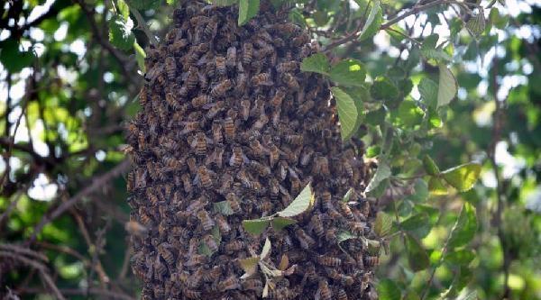 Arıların Oğul Dansı