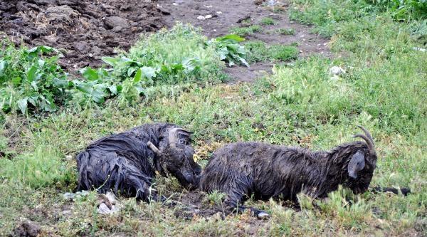 Atabey'de Sel Felaketi: 150 Küçükbaş Hayvan Telef Oldu