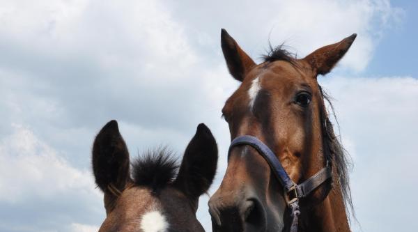 Atların, 'acemi Birliği'