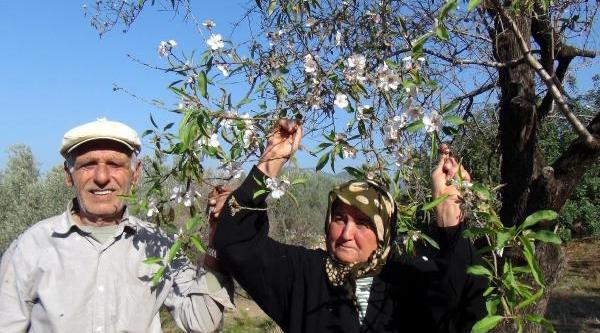 Badem Ağaci Kasimda Çiçek Açti