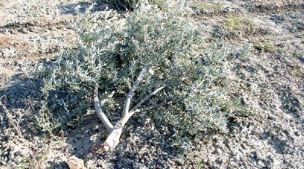 Bahçesindeki 250 Zeytin Ağacini Bir Gecede Kestiler