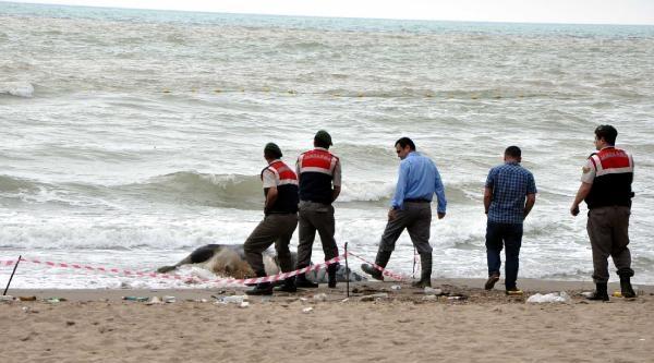 Bartın'da Kıyıya İnek Ölüsü Vurdu