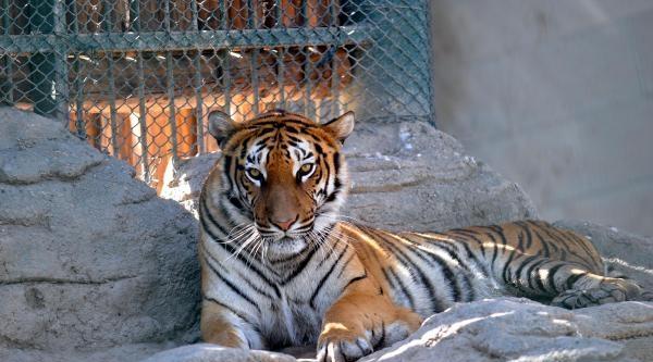 Bengal Kaplanı Uyum Sürecini Tamamladı