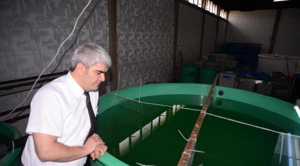 Beyşehir'in Karaburun Balığı İzmir'de Üretildi
